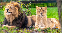 Iblis and his lioness