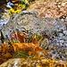 Foglie colorate nelle acque del torrente Gordana