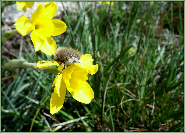 A very hungry wee beastie! (thanks to Marie-claire, I now know this is a bee-beetle!)