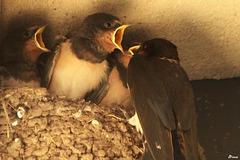 Nourris au nid