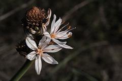 Asphodelus ramosus, Aspargales, Penedos