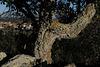 Azinheira, Quercus ilex with Penedos behind