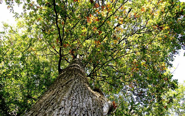 Sous le chêne