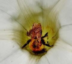 Rummaging Bee 2