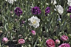 White Bullseye – Canadian Tulip Festival, Dow's Lake, Ottawa, Ontario, Canada