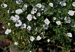 Nierembergia frutescens