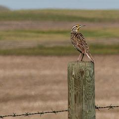 One of ten Meadowlarks seen yesterday