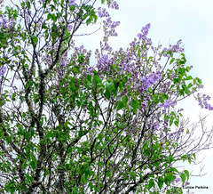Lilac Flowering.