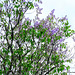 Lilac Flowering.