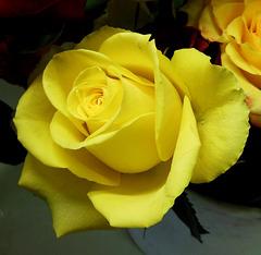 G wie GELBE Rose