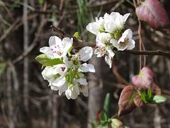Wild pear flowers