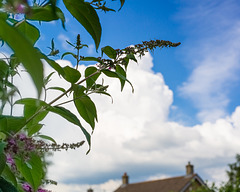 Thoughts on Being a Buddleia Bush