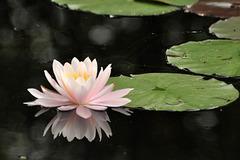 st bruno lily DSC 0860