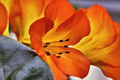 Orange Trumpets – Conservatory of Flowers, Golden Gate Park, San Francisco, California