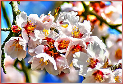 Blossoms of the almond tree. ©UdoSm