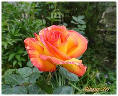 Mes roses Oranges