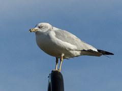 Ring-billed Gull / Larus delawarensis