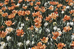 Peachy-keen! – Canadian Tulip Festival, Dow's Lake, Ottawa, Ontario, Canada