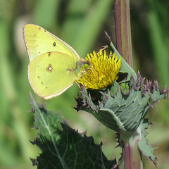 Clouded Sulphur on Lettuce sp.?