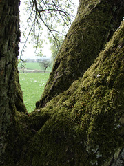Alte Birke  / old birch