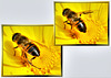 Hover Fly: Cleaning the wings... ©UdoSm