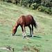 La race pyrénéenne de chevaux Pottok
