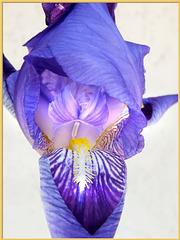 Iris. ©UdoSm