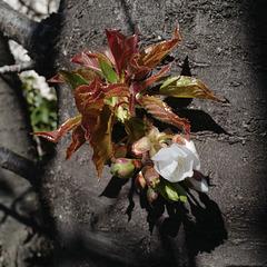 regain fleur cerisier