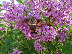 Snowberry Clearwing Moth (Hemaris diffinis) on Lilac
