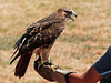 Flight training with a Red-tailed Hawk