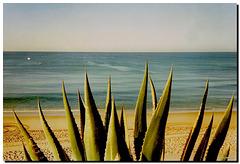 Agave sulla spiaggia Armaçao de Pera '91