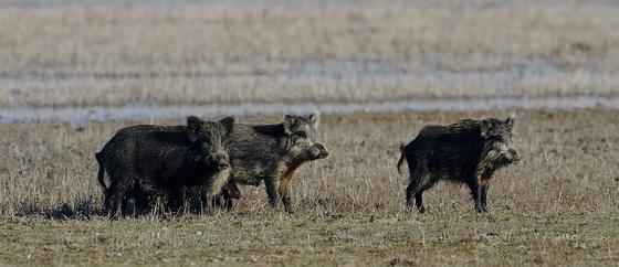 les 3 petits cochons version sauvage