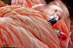 Flamingo 0052 copy