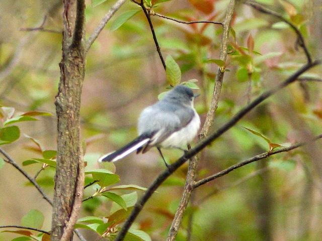 Day 3, Blue-gray Gnatcatcher, Pt Pelee, Ontario