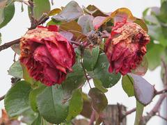 Rosen nehmen Abschied