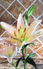 Tiger Lily on Tile Impressionistic- 043016