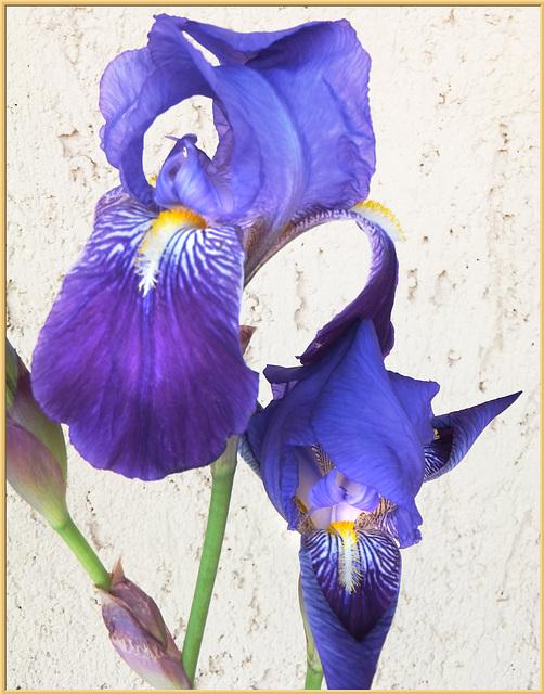 Schwertlilien (Iris). ©UdoSm