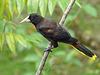 Crested Oropendola, Asa Wright Nature Centre, Trinidad