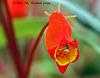 gloxinia sylvatica 147 2