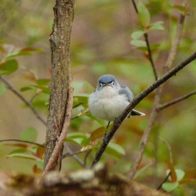Day 3, Blue-gray Gnatcatcher, Pt Pelee