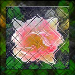 O fleur d'amour...