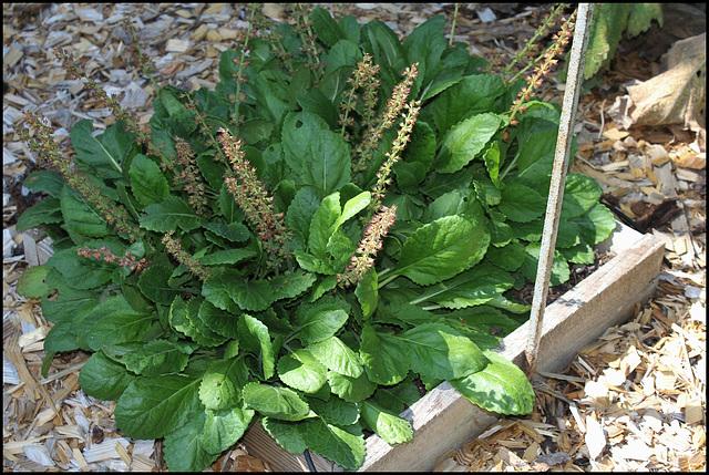 Horminum pyrenaicum (2)