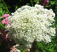 Queen Anne's Lace By My Beloved Joni
