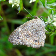 Butterfly with dew. Possibly a satyr