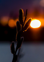 Pussy Willow at Sunset