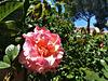 Garden rose ('Alfred Sisley')