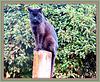 Pole Cat.