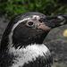 20170928 3158CPw [D~OS] Humboldtpinguin, Zoo Osnabrück