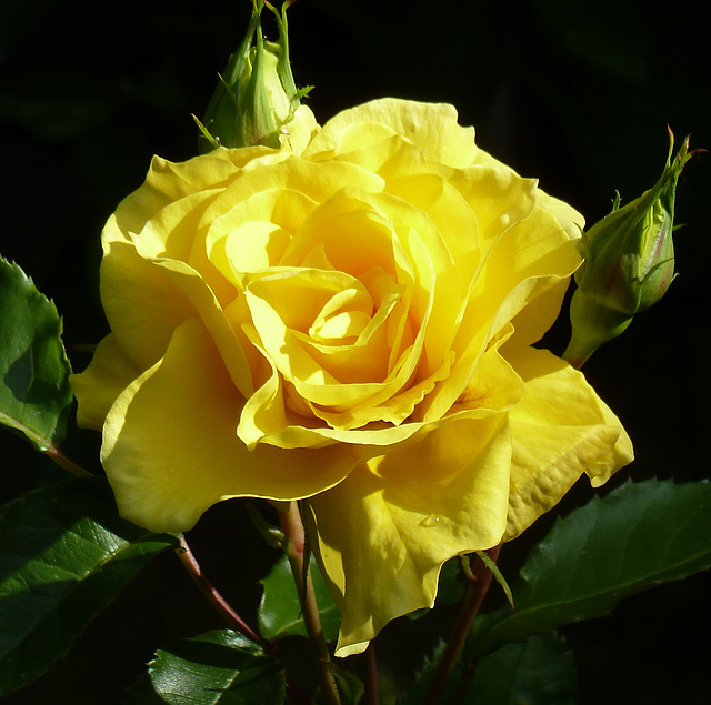 Y like YELLOW rose