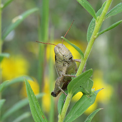 Grasshopper or locust, unknown species